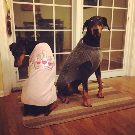 Dobermans in Clothes