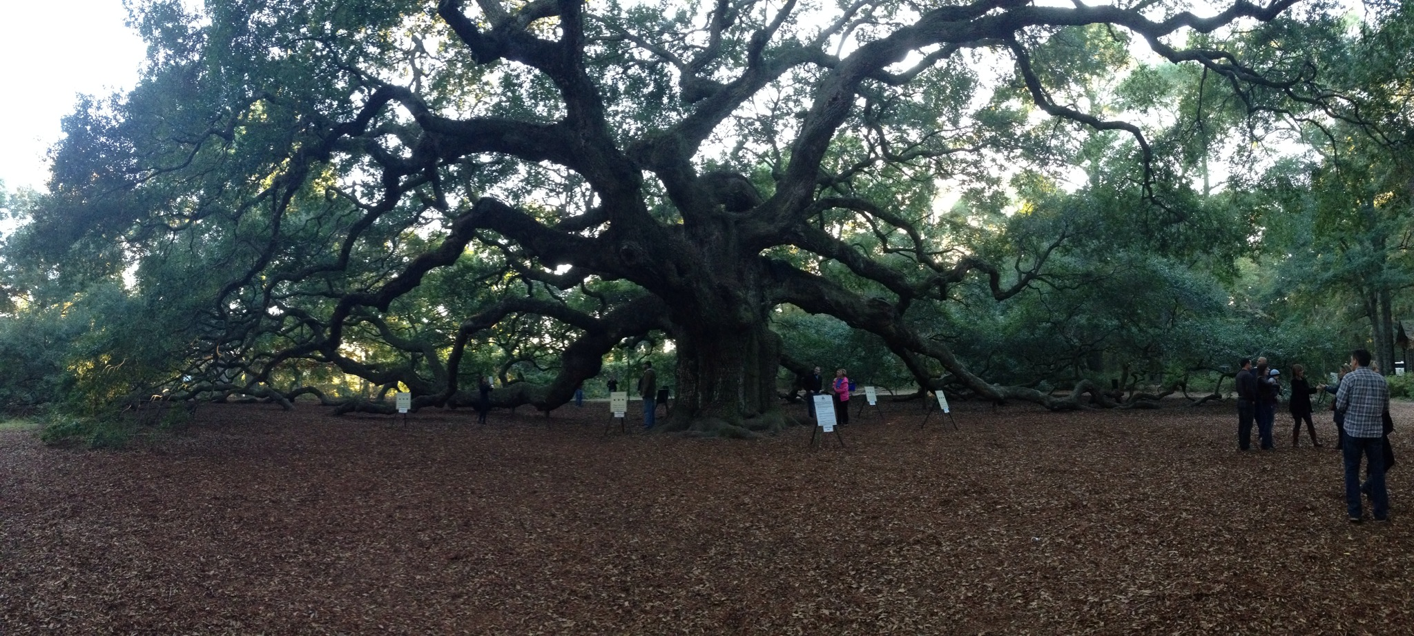 angel oak tree